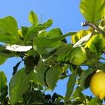 citrus q