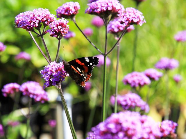 verbena bonariensis tanzende violette bl ten ploberger. Black Bedroom Furniture Sets. Home Design Ideas