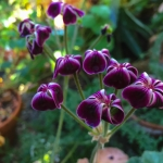 Pelargonium x lawrenceanum