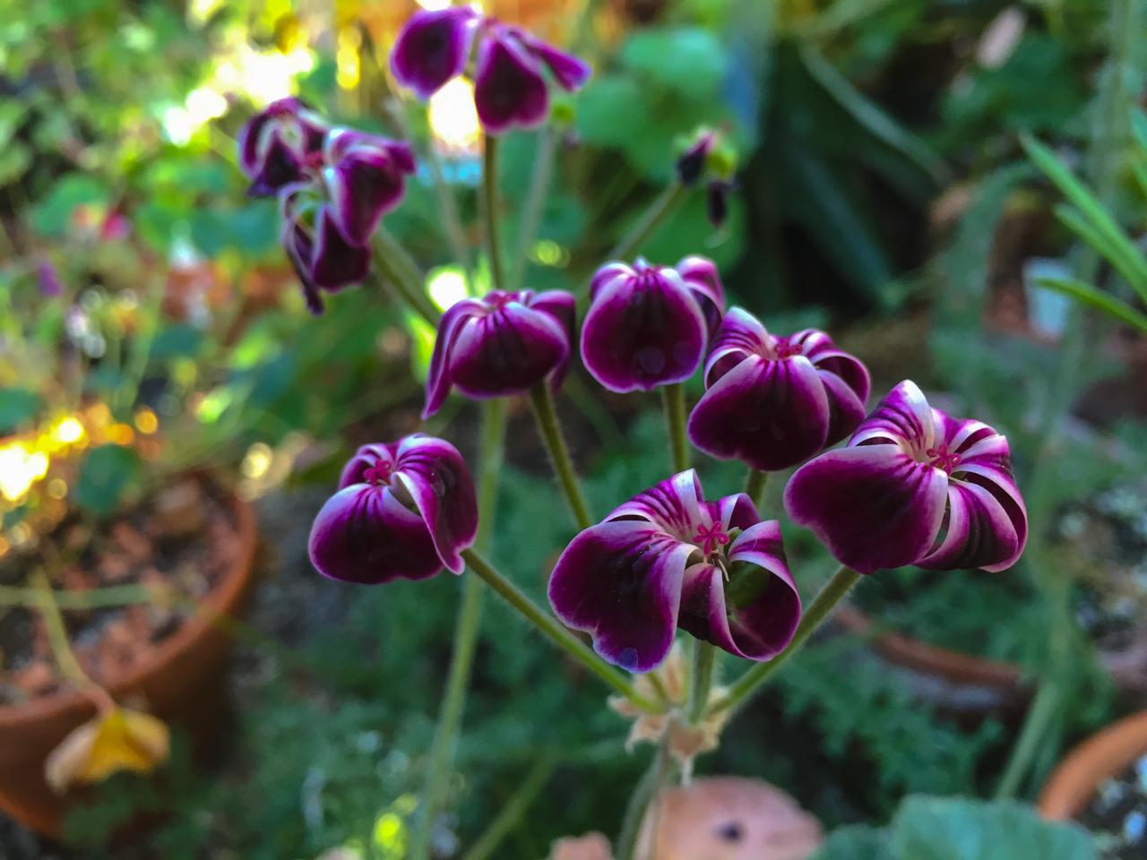 Geranie die beliebteste balkonblume ploberger for Fliegen in blumenerde entfernen