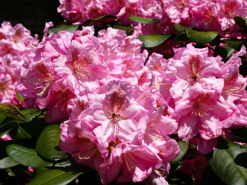 Beliebt Bevorzugt Rhododendren und Azaleen - Blütenpracht vor der Haustür - Biogärtner @AP_14