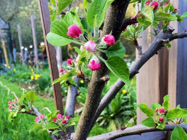 Apfelbaum, Apfelblüte