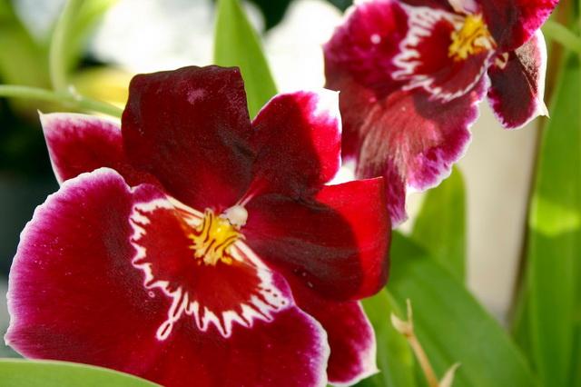 Orchidee Stiefmütterchen
