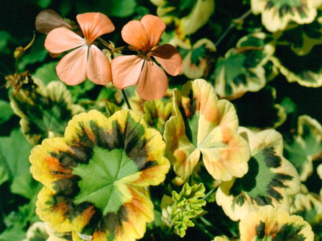 Pelargonie Wirral