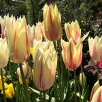 Tulpe Marylin