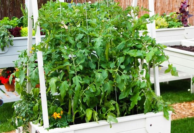 Tomatenbeete für den Balkon