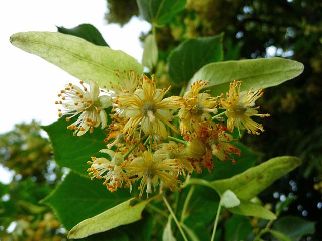 Blüten der Sommerlinde (Bild: wikipedia/3268zauber)