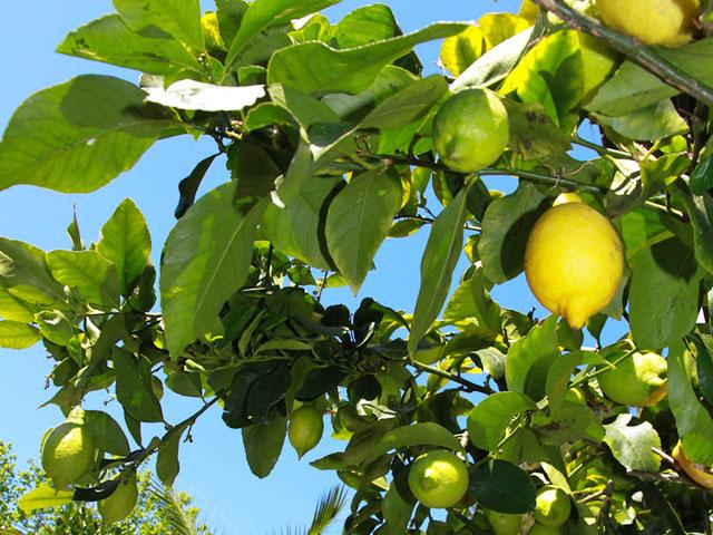 Berühmt Kein Sommer ohne Citrus! - 7 Tipps für die Pflege von Orange & Co @RV_02