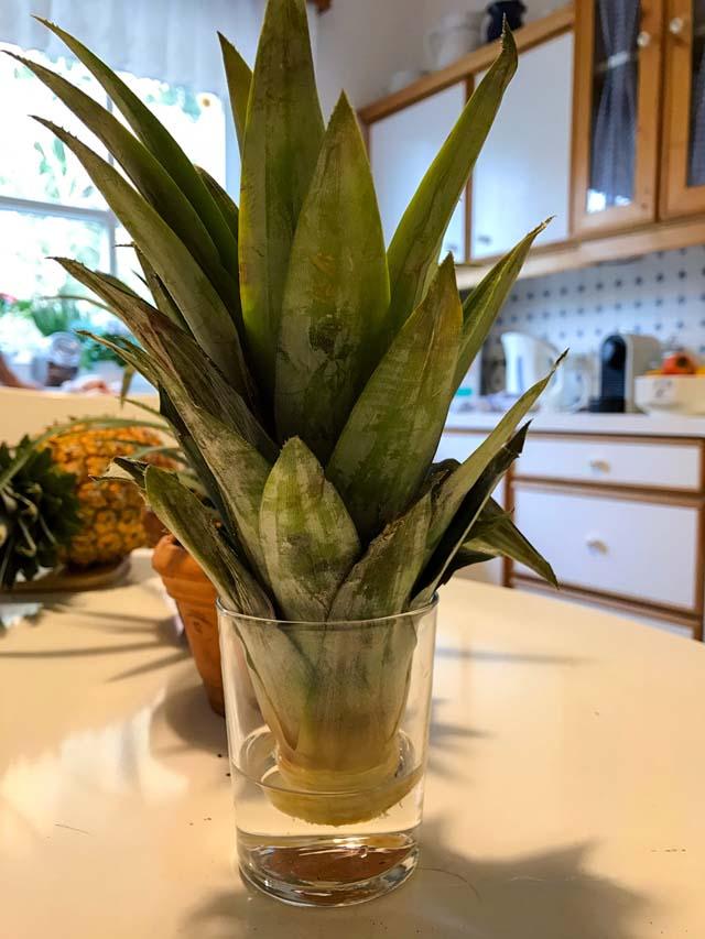 ananas selbst pflanzen