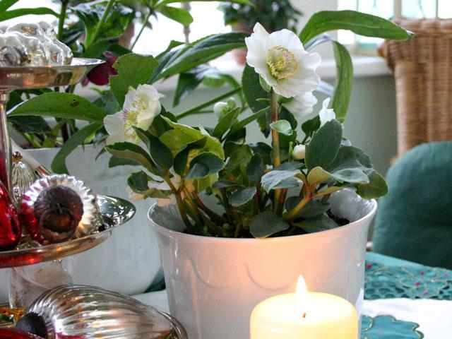 7 weihnachtspflanzen und wie man sie pflegt biog rtner. Black Bedroom Furniture Sets. Home Design Ideas