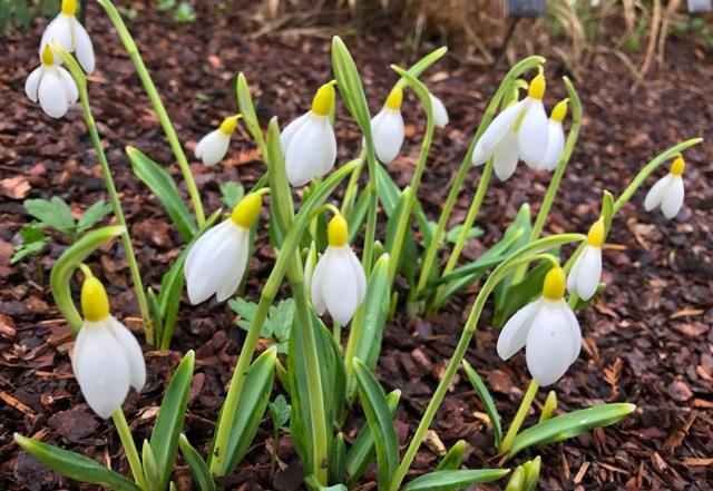 Snowdrop Wendys Gold