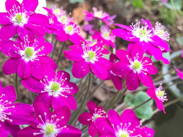 """Japanisches Leberblümchen 'Tagoto' """"In den Reisfeldern spiegelt sich tausendfach der Mond"""""""