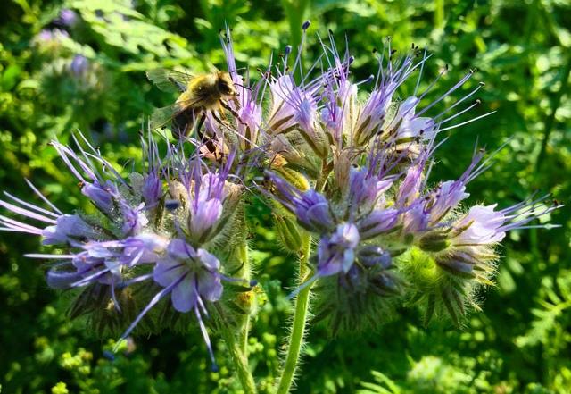 Phacaelia mit Biene