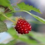 Rubus spectabilis (Prachthimbeere). Bild: www.lubera.com