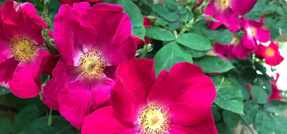 rosen960