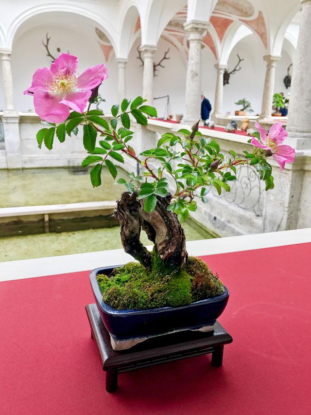 kleinen bonsai pflegen