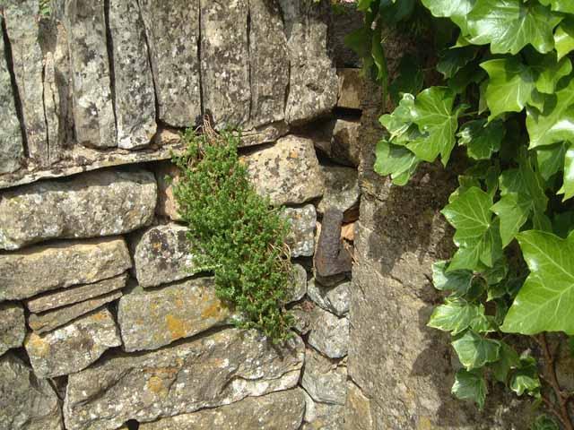Alte Steinmauer mit Efeu und Sedum