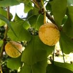 Die Frucht des Ginko - eine stinkende-Köstlichkeit