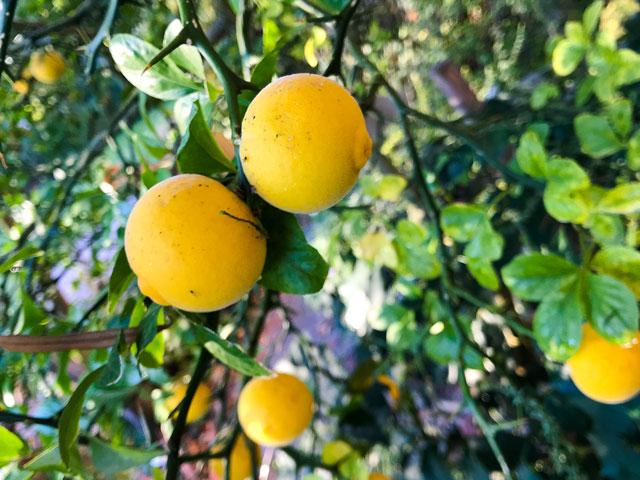 Bitterorange - die einzige frostfeste Orange