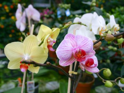 Phalaeonopsis-Orchidee