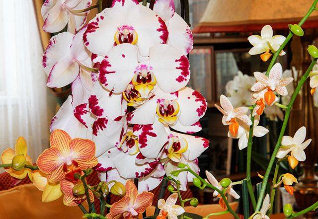 Zimmerorchideen