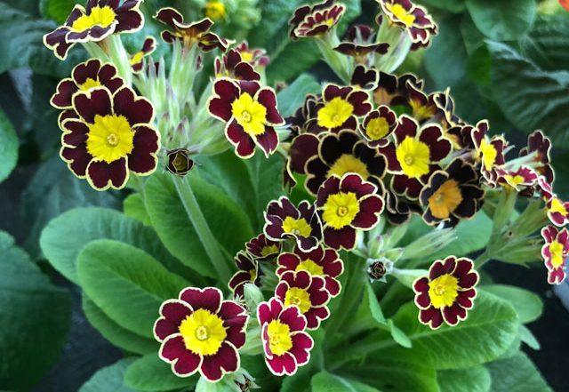 Primel mit zarten Blüten