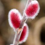Rosa Riesenweidenkätzchen