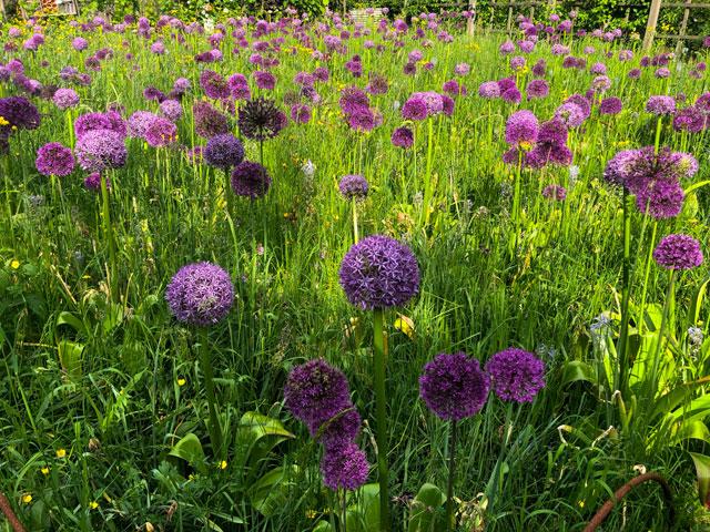 Alliumwiese bei Biogärtner Karl Ploberger
