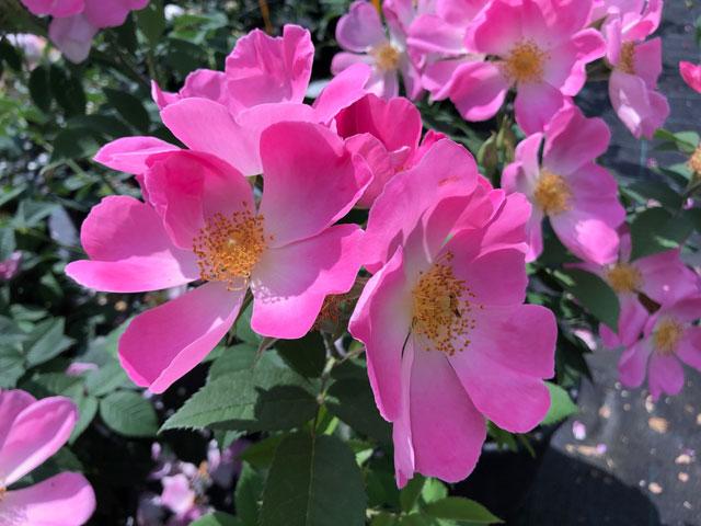 Rosa Complicata Gallica