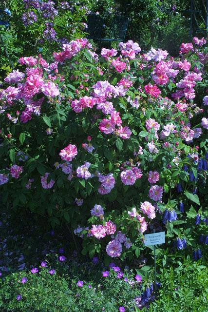 Rosa gallica - eine historische Rose
