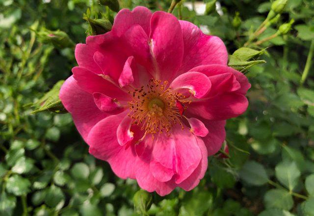 Rose Bienenweide Rosa - Züchter Tantau