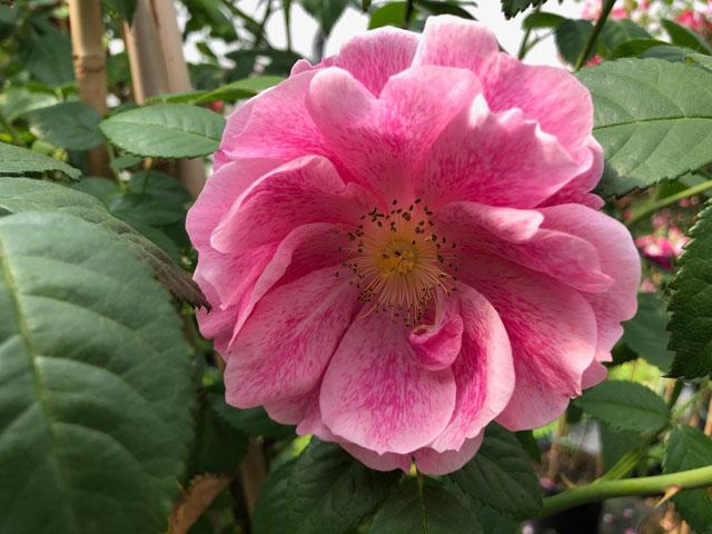 Rose Camelot - Züchter Tantau 2011