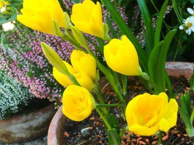 Sternbergia - der Goldkrokus