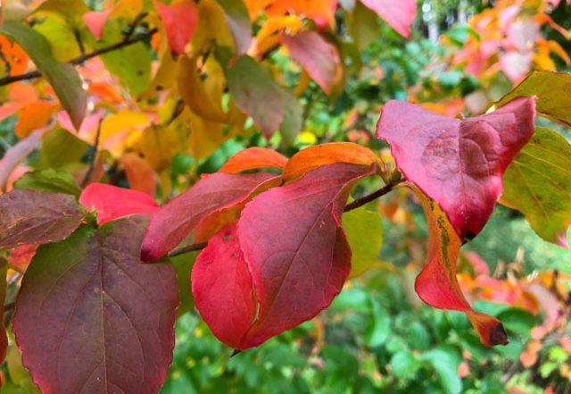 Rote Blätter - nur das Karotin bleibt zurück