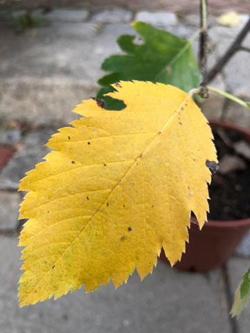 Österreichische Mehlbeere - Herbstfärbung