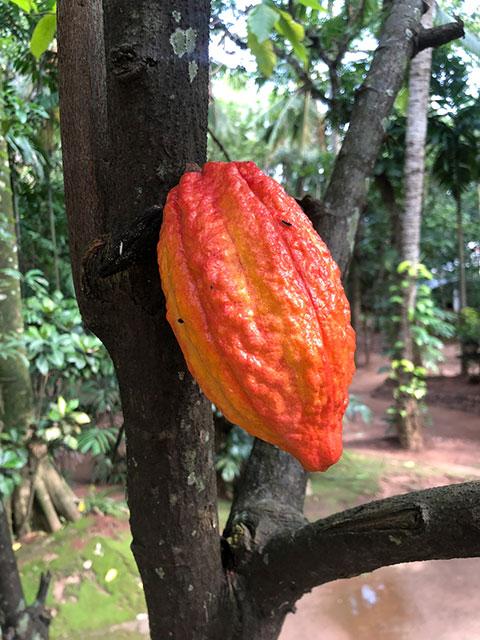 Die Kakaobohne - wächst leider nur in den Tropen