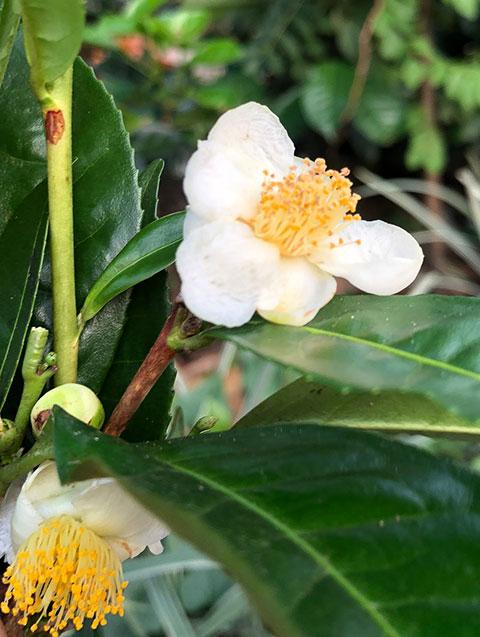 Teestrauch - Camelia sinensis - Blüte