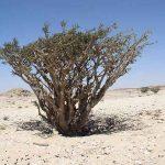 Boswellia sacra (Bild: wikipedia/Mauro Raffaelli)