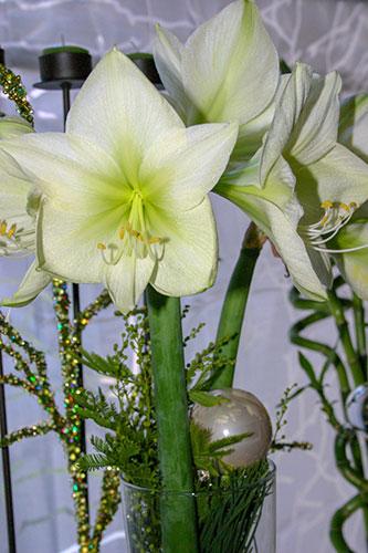Amarylllis - die Weihnachtspflanze