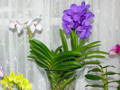 Vanda in der Vase