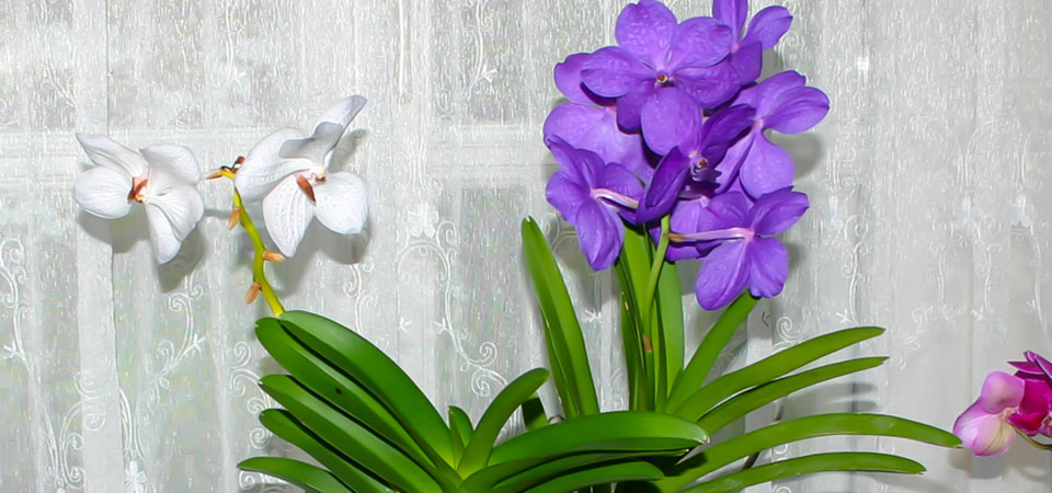 Vanda-in-der-Vase960