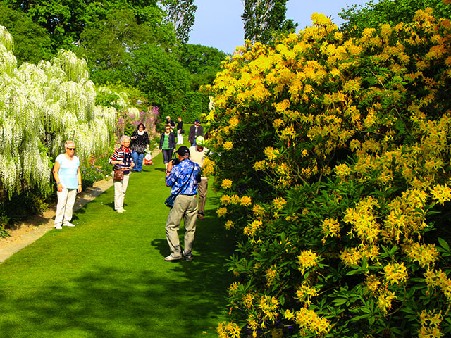 Azaleea ponticum - die duftendeste Frühlingspflanze