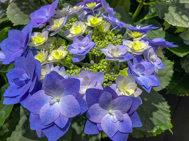 Blaue Hortensie