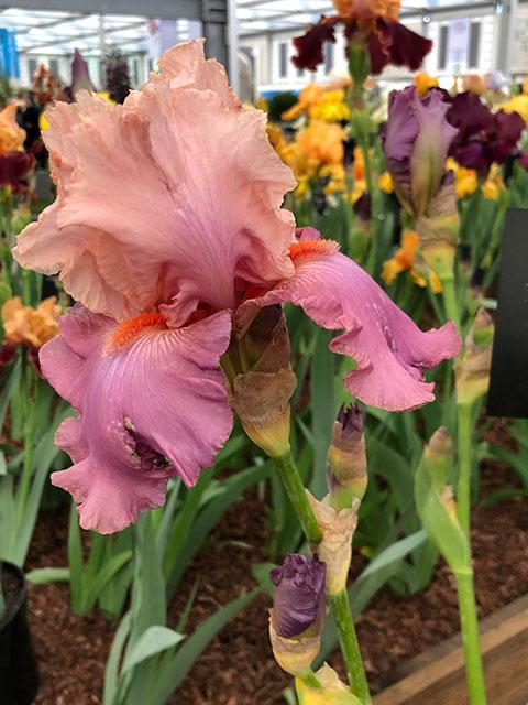 """Iris """"Confiture des Roses"""""""