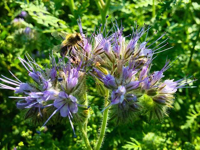 Bienenfreund (Phacaelia)