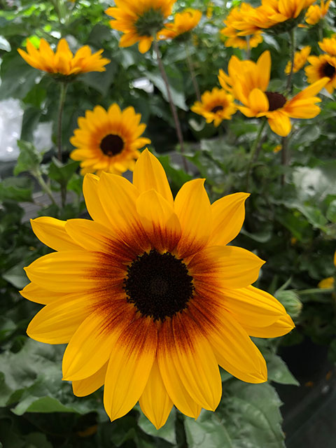 "Sonnenblume ""Sunbelievable"""