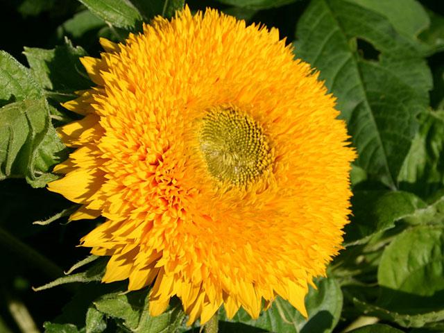 Sonnenblume mit gefüllten Blüten
