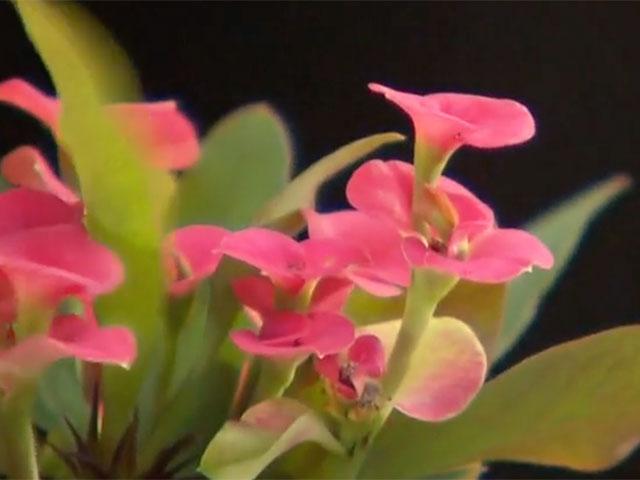 Christusdorn (Euphorbia Milii)