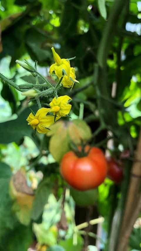 Tomate und Tomatenblüte