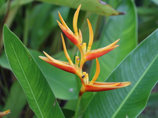 Gartenreise nach Guadeloupe